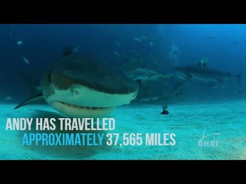 Longest Tracked Tiger Shark On Record, January 2018