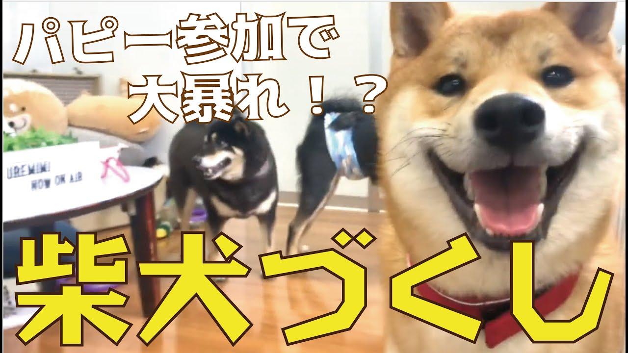 【8ヶ月のパピーも登場!】3種の柴犬大集合!! まさか、犬の祖先はあの動物と一緒!?