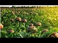Flowers of Middle-earth Artichokes Farm and Harvest - Artichokes Cultivation Technology
