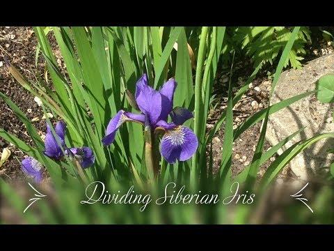 Mature iris von face sittting