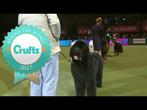 Working Group Winner's Interview | Crufts 2017