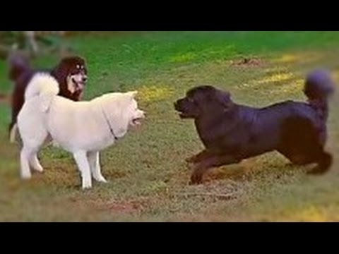 Tibetan Mastiff vs Akita - Asian Combat