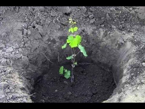 как правильно сажать виноград весной видео