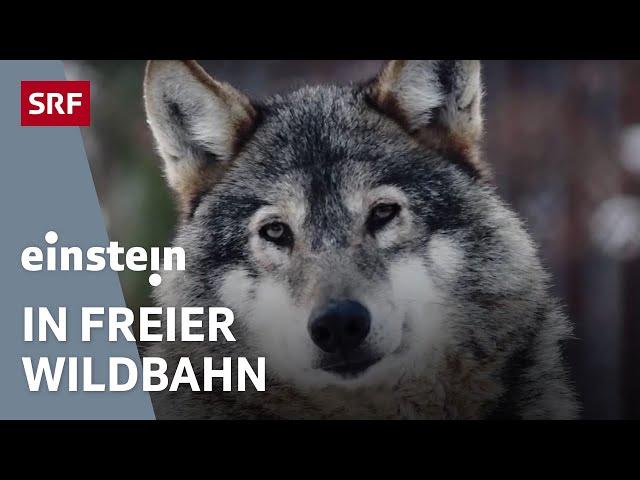Wölfe, Biber, Wisente – Wiederansiedelung von Wildtieren in Europa | SRF Einstein