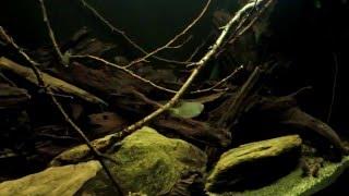 54l blackwater amazon biotope
