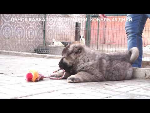 Продажа щенков кавказская овчарка.