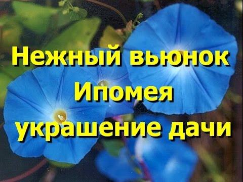 Батат: выращивание в средней полосе России