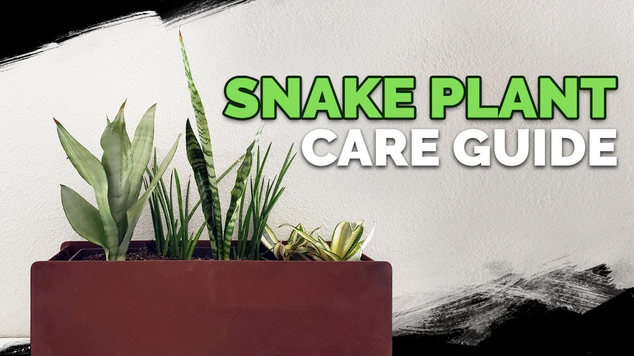 snake plant care how to grow the mother in law 39 s tongue youtube. Black Bedroom Furniture Sets. Home Design Ideas