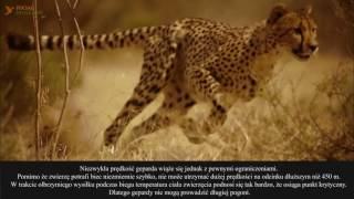 Z bliska #3 Gepard (Acinonyx jubatus) - Mistrz szybkości