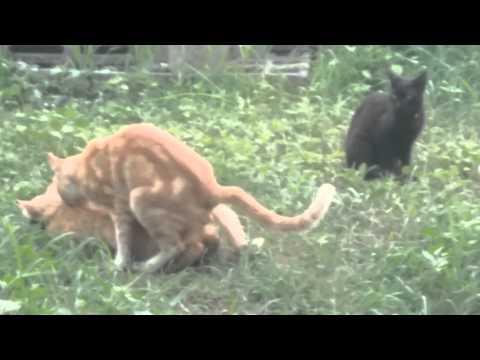 Gatos apare ndose funnycat tv - Videos animales salvajes apareandose ...