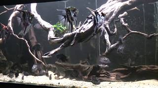 Wild Wood Roots Fish Tank - Fullhd 1080p (american Cichlids)