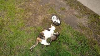 Отдам котят в хорошие руки (Вишнополь- Черкассы, лето 2016)