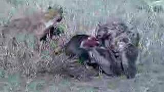 hyenas vultures jackals and deceased wildebeest