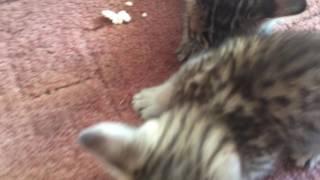 Саванна котята кушают и рычат ))