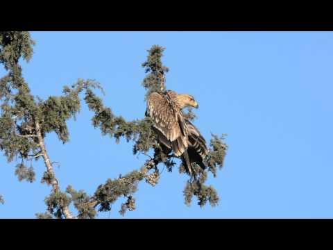 עיט שמש Eastern Imperial Eagle