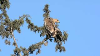 עיט שמש Eastern Imperial Eagle