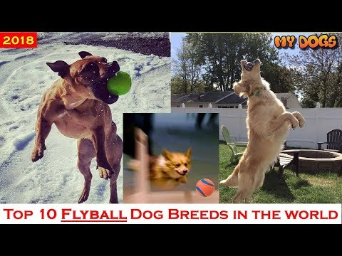 Top 10 Flyball Dog Breeds In The World ★2018 [HD]