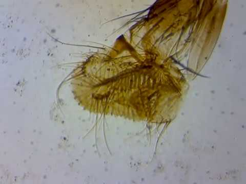 House fly mouth parts Under the microscope - YouTube