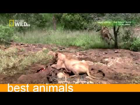 Smart Plan For A Lion For His Prey In The Woods During Hunting