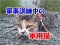 猫なのに軍用犬を目指している猫の軍事訓練-かわいい猫なのに犬として育てられた猫12