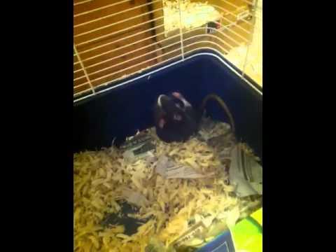 Meditating rat?!?!?