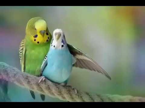 صوت تزاوج طيور الحب طريقة مفعولها سحري دع البادجي تسمع هذه الاصوات ستتزاوج طيورالبادجي رغما عنها Youtube
