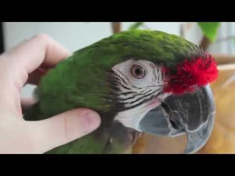 Солдатская ара Проня (military macaw)
