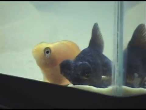 Fish Sleeping And Cuddling ( Black Moor Goldfish And Red Blood Parrot Cichlid )