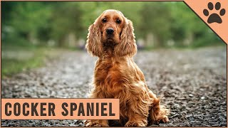Cocker Spaniel  Dog Breed Information