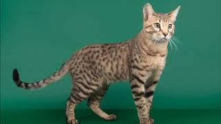 Редкие породы котов. Серенгети.
