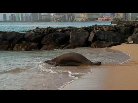 Kaiwi (RK96) 6 years old female Hawaiian Monk Seal -- ready for her dinner!