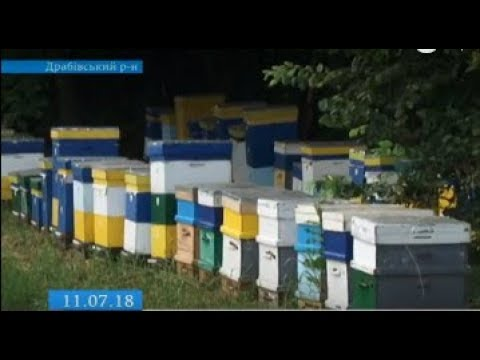 ТРК ВіККА: На Черкащині селяни бояться масової загибелі бджіл через обробку полів