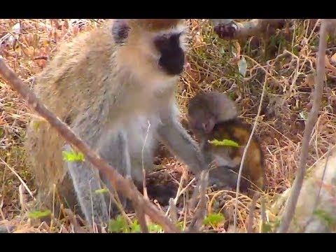 Tiny Vervet Babies with moms on Africa River cam. 09 January 2018