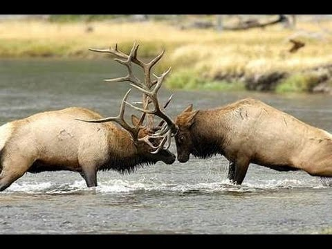 Pre mature elk fighting any