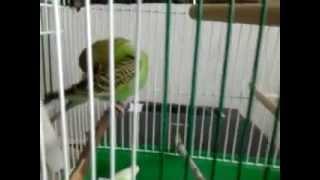 Попугай чирикает в клетке
