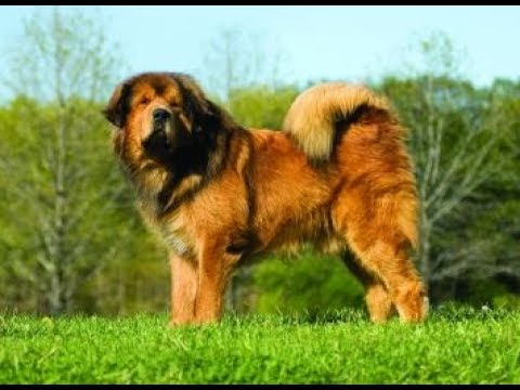 Giant Tibetan Mastiff - Goliath Dog