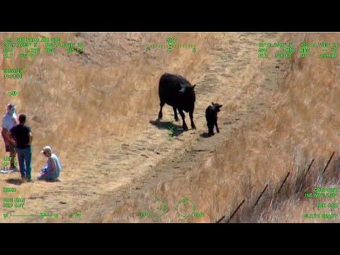 شاهد: الشرطة تتدخل لفض مواجهة بين بقرة وزوجين في كاليفورنيا…  - نشر قبل 3 ساعة