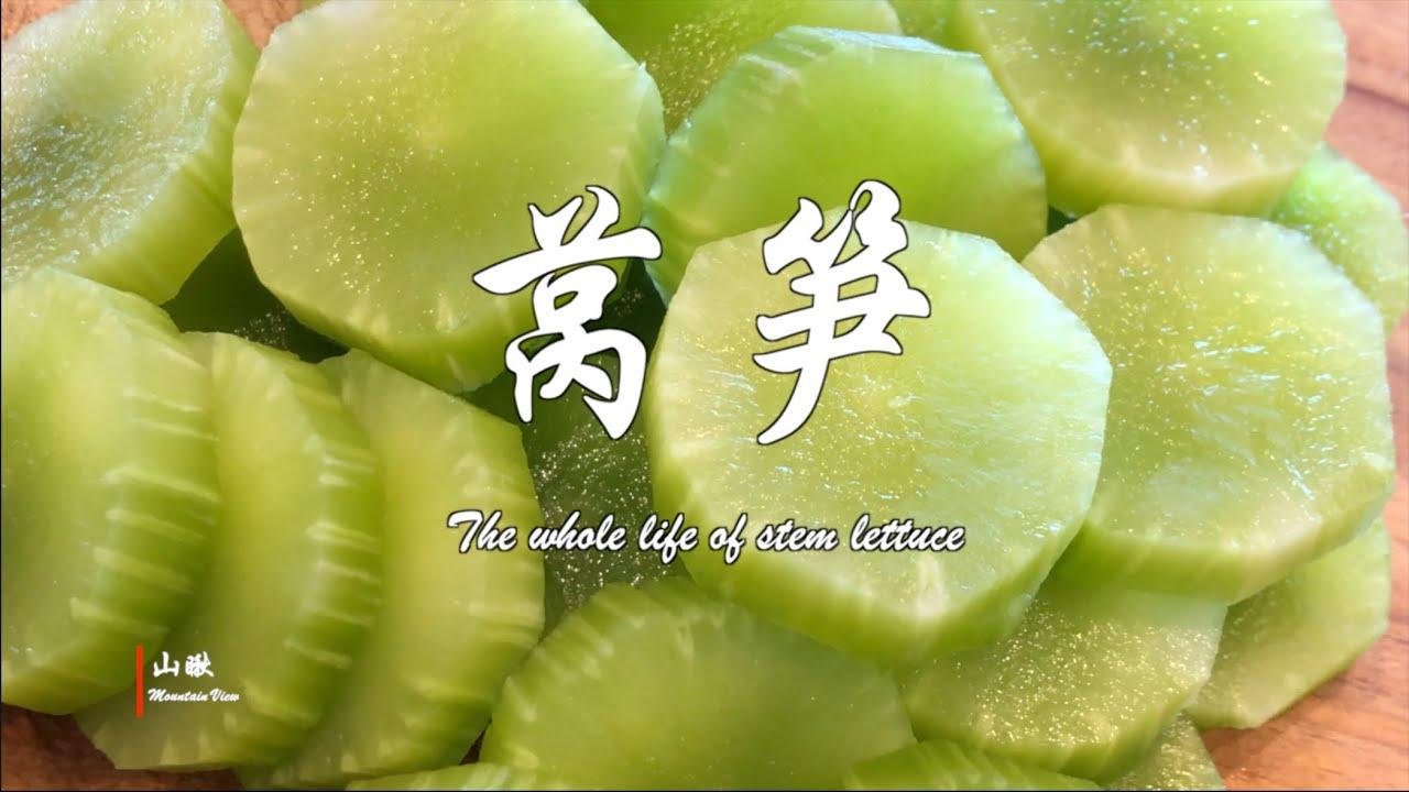 莴笋(第53期) The whole life of stem lettuce (Ep43)