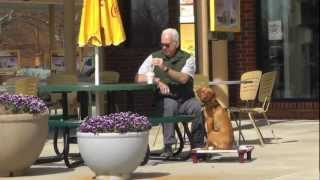 Distraction Training a Vizsla Puppy: Shops and Restaurants