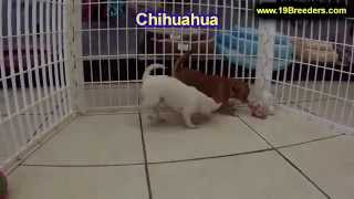 Chihuahua, Puppies, For, Sale, In, Baton Rouge, Louisiana, La, Minden, West Monroe, Luling, Crowley,