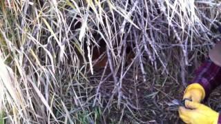 Fox Snared in a Rebel Snare