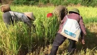 Tây Bắc Mùa Gặt Lúa - Gặt Lúa Nhà Bác   Tây Bắc Quê Hương Tôi