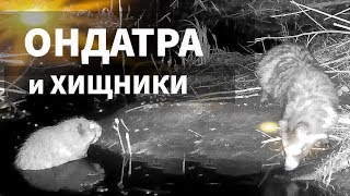 Ондатра и хищники / REAL animals