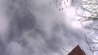 Узбекские бойные голуби 2012 летают без отказно (-26)(, 2012-02-03T13:23:34.000Z)