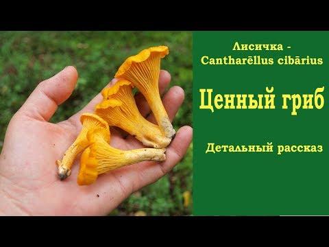 Лисичка - ценный гриб. Детальный рассказ. Cantharellus cibarius.
