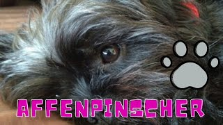 Affenpinscher | Affenpinscher Dog | Affenpinscher Breed | Dog breeds in the world | 1dogcentral