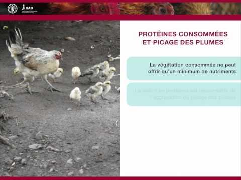 Nutrition et alimentation en aviculture familiale - Le système en liberté