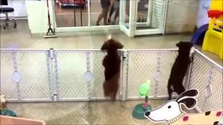 Happy Dog dancing Oppa Gangnam Style