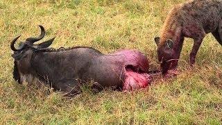 Animals Documentary Hyenas Hunting Wildebeest || Hyenas vs Lions More [National Geographic Full]