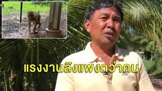 ชาวสวนยันใช้ไม้สอยมะพร้าว90% ให้ลิงเก็บแค่10% ตอกกลับฝรั่งกวางเรนเดียร์-หมาลากเลื่อน-รีดนมวัวก็ทารุณ